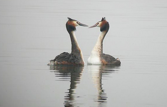 Great-Crested-Grebes-JDn