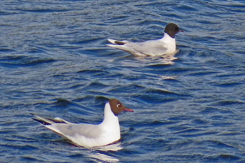 IMG_0113a-Little-Gull-with-Black-headed-Gull