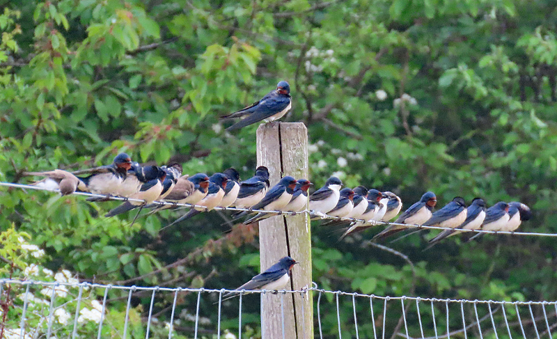 IMG_0233a-Swallows-and-Martins
