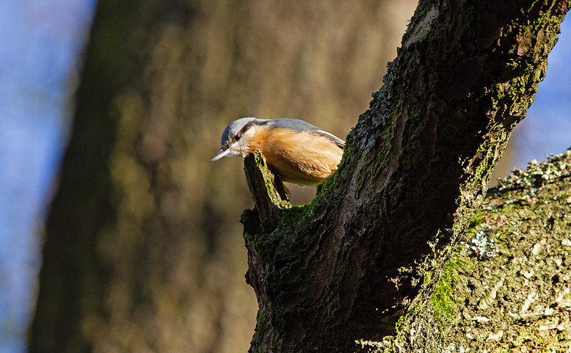 Nuthatch-Mike-Wormall