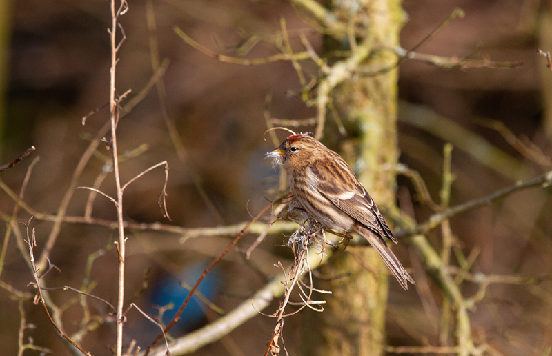 Redpoll-Mike-Wormall