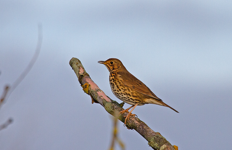 Song-thrush-Mike-Wormall