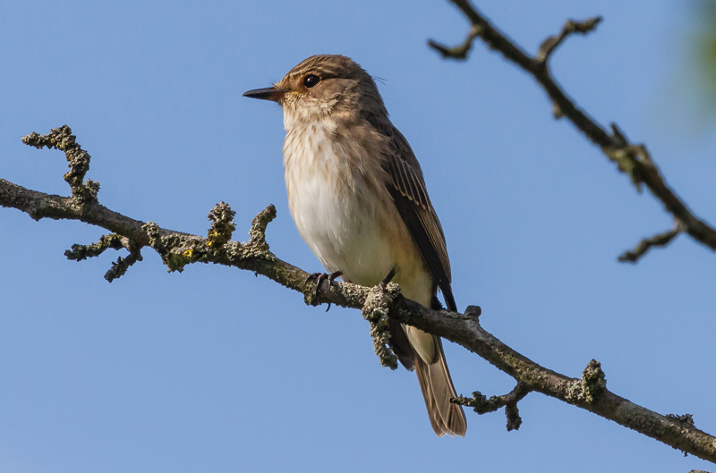 Spotted-Flycatcher-Michael-Wormal