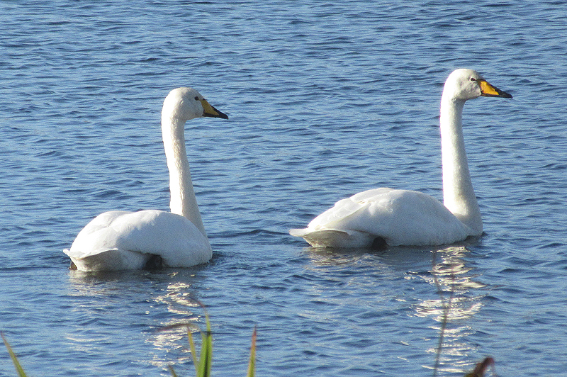 Whooper-Swans-Peter-Smith