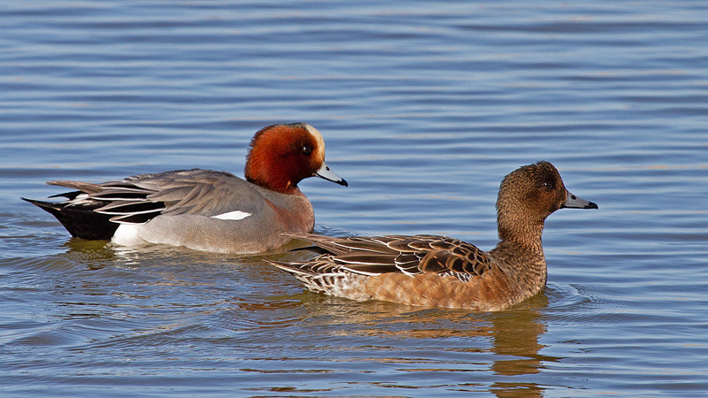 Wigeon-Mike-Wormall