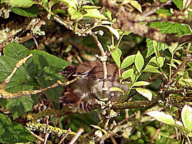Cetti s Warbler