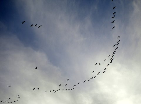 Pink-footed Geese flying over