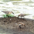 Curlew Sandpiper with two Dunlin