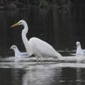 Great-White-Egret-Tony-Wardell
