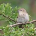 IMG_0954a-Garden-Warbler