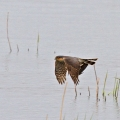 Sparrowhawk-Mike-Wormall
