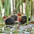 Newly hatched Coot chicks