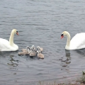 Mute Swans with cygnets
