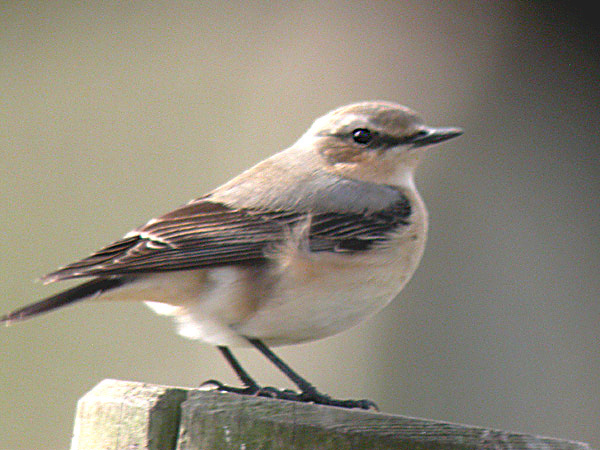 Wheatear - female