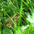 Six-belted Clearwing
