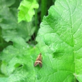 Longhorn Micro-moth