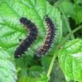 Emperor Moth Caterpillars
