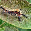Vapourer Moth Caterpillar