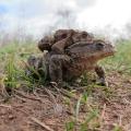 Common Toads in amplexus