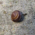 Girdled Snail