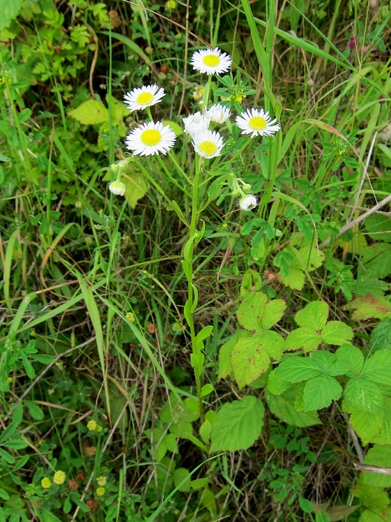 Tall Fleabane