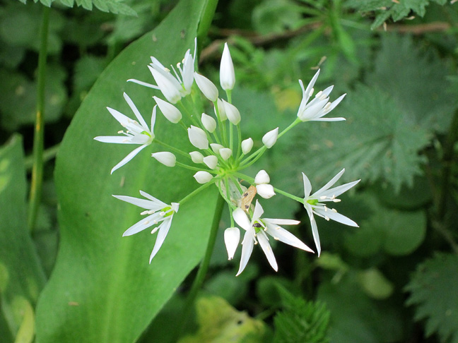 Wild Garlic - Ransoms
