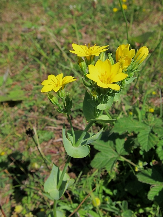 Yellow-wort