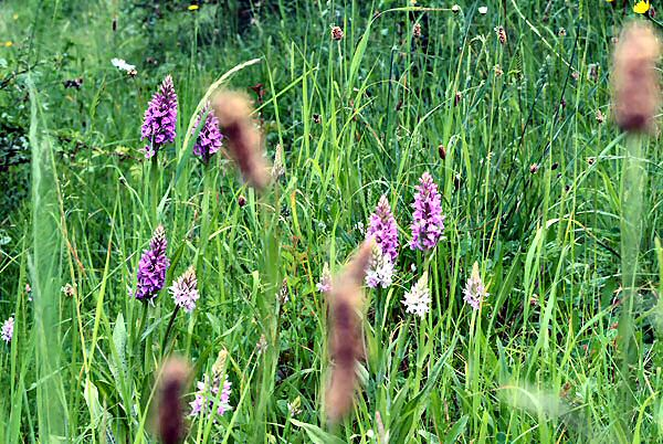 Common Spotted and Southern Marsh Orchids