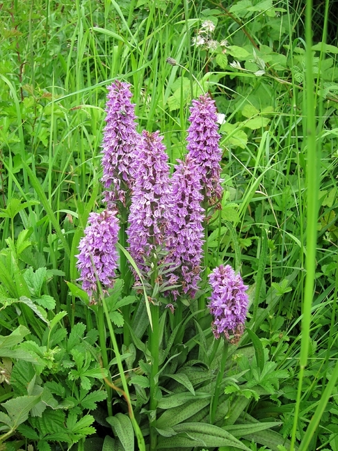 Spotted/Marsh Orchid hybrids