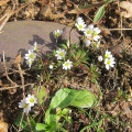 Common Whitlow-grass
