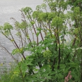 Garden Angelica