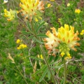 Kidney Vetch