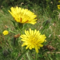 Bristly Oxtongue