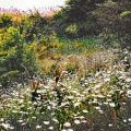 Ox-eye Daisies-on-bank