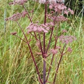 Red Angelica