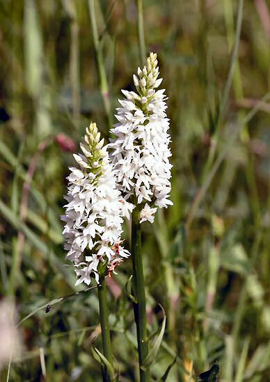 White Common Spotted Orchid