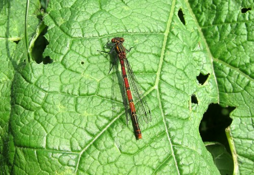 IMG_3349a - Large Red Damselfly - female