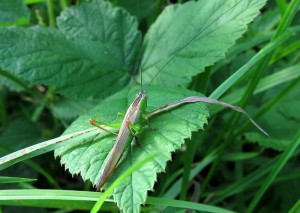 Long-winged Conehead - Macropterous (extra long-winged) form