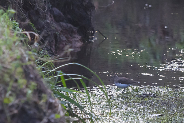 Green Sandpiper in the Ouse Dyke - Michael Wormall